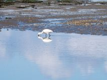 篦鹭, Platalea leucorodia,搜寻在一团浅水区  免版税库存照片