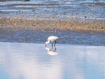篦鹭, Platalea leucorodia,趟过通过浅水区  库存照片