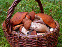 篮子充分的蘑菇 免版税库存照片