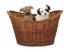 篮子品种混杂的小狗二 库存图片