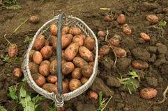 篮子新近地开掘了土豆 免版税库存照片