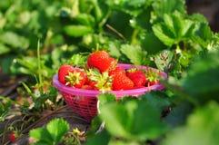 篮子新鲜的草莓 免版税库存图片