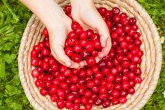 篮子明亮的红色新近地充分采摘了早期的甜樱桃 库存图片
