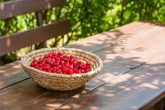 篮子明亮的红色新近地充分采摘了早期的甜樱桃 图库摄影
