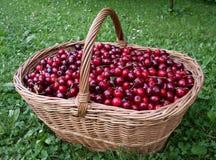 篮子樱桃结果 库存照片