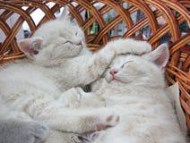 篮子灰色小猫休眠 免版税库存图片