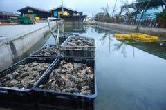 篮子牡蛎 库存图片