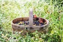 篮子用在一块晴朗的沼地的蓝莓在森林里 免版税库存图片