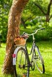 篮子用在一辆老自行车的新鲜的水多的杏子 免版税图库摄影