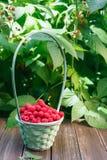 篮子用在灌木附近的莓在木桌上在庭院里 库存图片