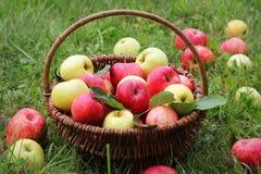 篮子用在草的红色和黄色苹果在庭院里 图库摄影