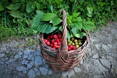 篮子用浆果 库存照片