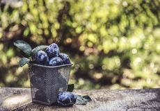 篮子用秋天李子 在一张老桌上的新鲜的李子在庭院里 秋天概念查出的白色 库存图片