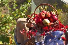 篮子用苹果在庭院里 秋天收获果子 充分篮子维生素和果子 苹果收集 库存图片
