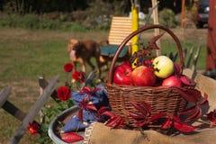 篮子用苹果在庭院里 秋天收获果子 充分篮子维生素和果子 苹果收集 免版税图库摄影