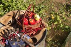 篮子用苹果在庭院里 秋天收获果子 充分篮子维生素和果子 苹果收集 图库摄影