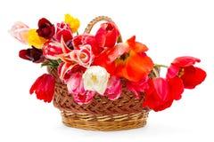 篮子美丽的郁金香 免版税库存照片