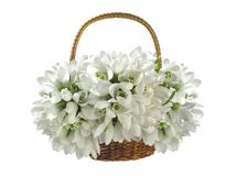 篮子美好的花束snowdrops 库存图片