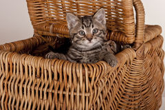 篮子逗人喜爱的灰色小猫野餐 免版税库存照片
