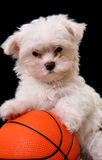 篮球狗 免版税图库摄影