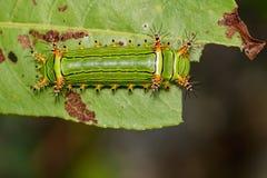 篱笆条杯子毛虫的图象在自然背景的 昆虫 免版税库存照片