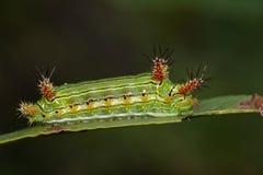 篱笆条杯子毛虫的图象在自然背景的 昆虫 库存照片