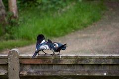 篱芭的父母哺养的年轻鹊 库存照片