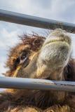 篱芭的红色骆驼。 免版税图库摄影