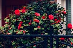 篱芭绿色窗口留下明亮的红色玫瑰丛生长狂放的入口 免版税库存图片