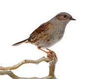 篱雀之类的鸟 免版税图库摄影