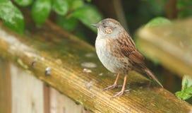 篱雀之类的鸟 免版税库存照片