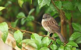 篱雀之类的鸟 免版税库存图片