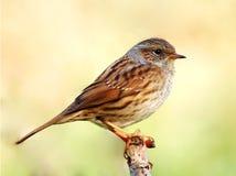 篱雀之类的鸟 库存图片