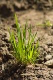 簇生草绿色春天 免版税库存图片