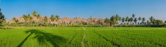 稻米全景  库存照片