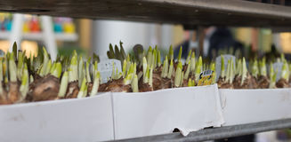 米兰,意大利- 2017年3月02日:在箱子的花rhyzomes在地点 免版税库存照片