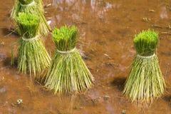 米农业幼木在米领域的 库存照片