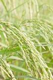 米农场在泰国 库存图片
