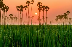 米农场,美丽的目的地亚洲,泰国风景  免版税图库摄影