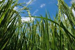 米叶子和稻 免版税库存照片