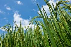 米叶子和稻 库存图片