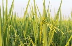 米和五谷的领域 图库摄影