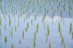 稻米和多雪的山反射 库存图片