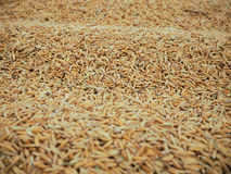 米和稻 免版税图库摄影