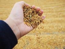 米和稻 免版税库存照片