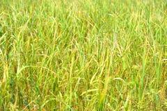 米在农场准备收获 免版税库存图片