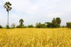 米在收获之前的领域风景 库存图片