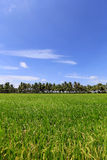 米在蓝天和云彩背景的领域和椰子树 免版税库存图片
