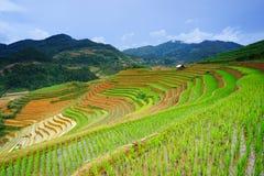 米在雨季的大阳台调遣在Mu Cang柴,安沛市,越南 免版税库存照片
