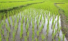 年轻米在稻田增长 免版税图库摄影